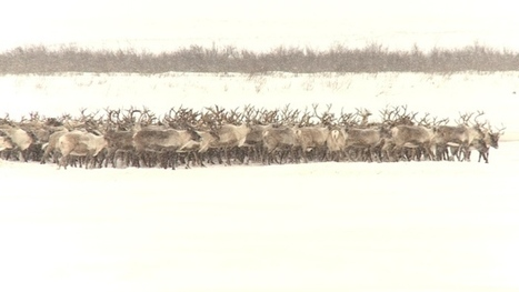 Thousands of reindeer to make annual crossing across N.W.T. ice road today | All about water, the oceans, environmental issues | Scoop.it