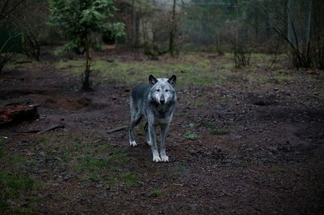 Story Behind The Shot: Wolf Haven. | CharlieDogs Loves a Rescue Pet! | Scoop.it