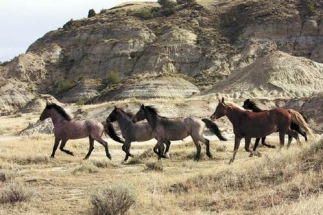 Federal Agencies to Send Hundreds of Wild Horses to Slaughter, Despite Public Outcry   Nature-News-Network   Horses   Scoop.it