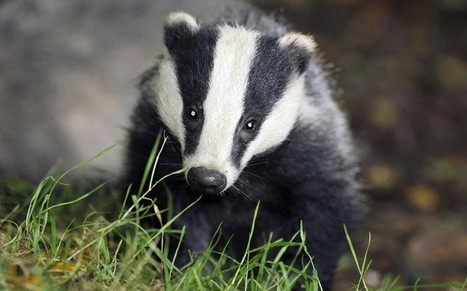 Government criticised after it fails to ensure badger cull will be humane - Telegraph | Life on Earth | Scoop.it