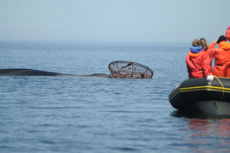 #FinWhale snared by #CrabTrap in Gulf of St. Lawrence ~ | Rescue our Ocean's & it's species from Man's Pollution! | Scoop.it