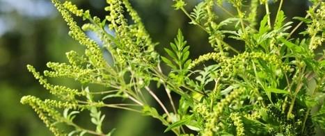 Allergies: la pollution rend le pollen d'ambroisie plus agressif | Toxique, soyons vigilant ! | Scoop.it
