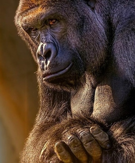 Harambe Shot Dead on Spot to Rescue Child- Questions Raised about Importance of Animal Care | Global Trends & Reforms - Socio-Economic & Political | Scoop.it