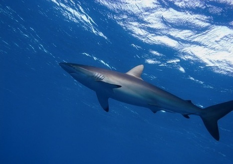 Tuna-catching devices kill silky sharks - Conservation | All about water, the oceans, environmental issues | Scoop.it