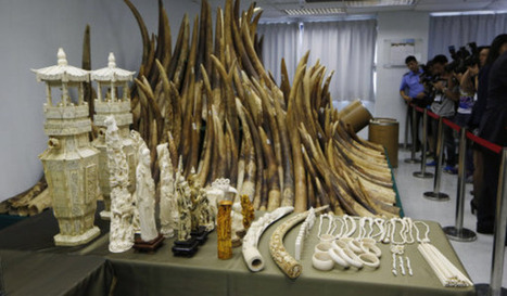 Hong Kong Begins Destroying Huge Ivory Haul | Wildlife Trafficking: Who Does it? Allows it? | Scoop.it