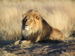 Ban Trophy Hunting of Lions in South Africa | rhinos | Scoop.it