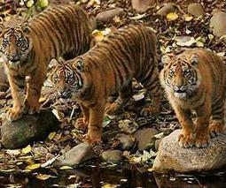 Sumatran tigers may go extinct in 10 years   Tiger Conservation   Scoop.it
