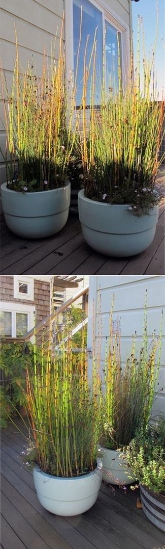Planting Equisetum in pots | Backyard Gardening | Scoop.it
