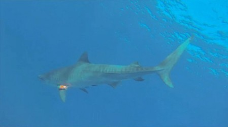 Sharks help scientists and themselves, by wearing cameras and swallowing sensors | GizMag.com | iScience Teacher | Scoop.it