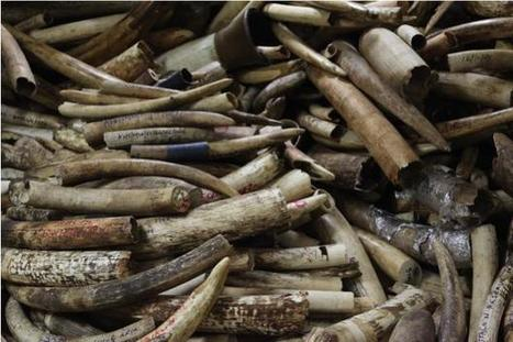 Ivory smuggling: 9 things you should know | Discover Wildlife | All about water, the oceans, environmental issues | Scoop.it