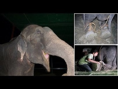 Abused Elephant Rescued | A, B, C of Craigslist | Scoop.it