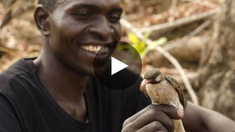 Quand les chasseurs collaborent avec des oiseaux pour trouver le miel au Mozambique | apiculture31 | Scoop.it