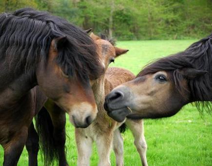 The Exmoor Pony Breed : Equinetourism.co.uk   Exmoor Pony Club   Scoop.it