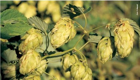 Humulus lupulus L. - Schede piante by Natural1 | Informazione scientifica di fitoterapia, nutraceutica e cosmesi naturale | Scoop.it