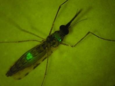 Paludisme : une réponse immunitaire efficace et durable grâce à un parasite muté | EntomoNews | Scoop.it