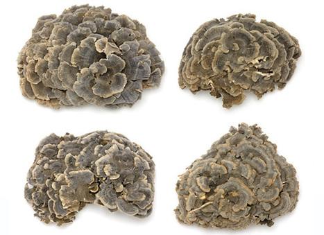 Micoterapia – I funghi curativi: Maitake | Medicina Naturale | Scoop.it