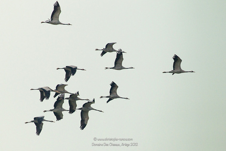 Grue cendrée - Grus grus (Domaine Des Oiseaux, Ariège) 1 Dec ... | photographie animalière et nature | Scoop.it