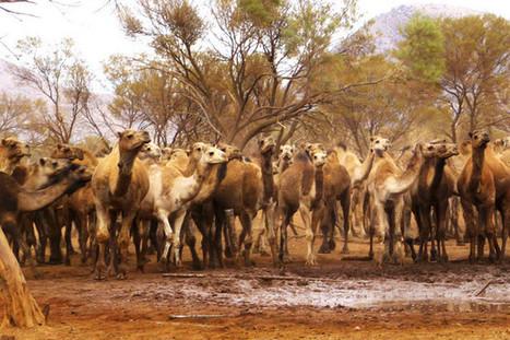 Camel-Slaughter Plan Rejected for Australian Carbon Credits | Energy & Renewables | Scoop.it
