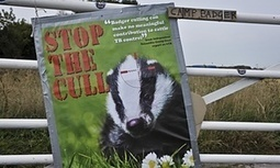 Badger cull is flawed and must now stop | Letter from Ranald Munro, John Bourne and others | GarryRogers NatCon News | Scoop.it
