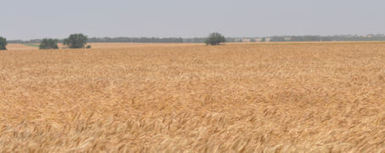Texas Wheat Harvest Shows Low Yields, High Protein - Farm Futures | Texas Wheat | Scoop.it