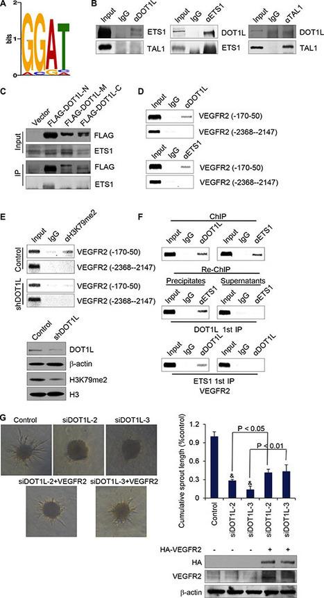 DOT1L promotes angiogenesis through cooperative regulation of VEGFR2 with ETS-1   Duan   Oncotarget   Melanoma BRAF Inhibitors Review   Scoop.it
