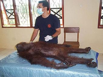 Le prix de l'huile de palme : cas d'un orang-outan retrouvé criblé de plombs en Indonésie | Sécurité sanitaire des aliments | Scoop.it