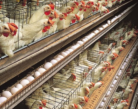 80,000 Chicken farm (CAFO) project has organic farmer worried | YOUR FOOD, YOUR ENVIRONMENT, YOUR HEALTH: #Biotech #GMOs #Pesticides #Chemicals #FactoryFarms #CAFOs #BigFood | Scoop.it