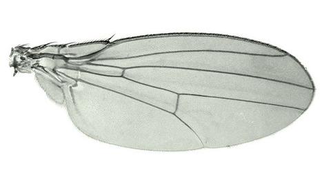Comment la mouche a perdu son aile... et la Russie sa découverte | EntomoScience | Scoop.it