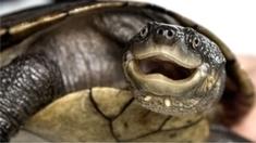 Mysterious disease threatens Australian turtle with immediate extinction   Gavagai   Scoop.it