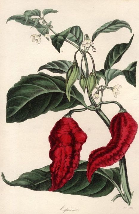 Is the chilli pepper friend or foe? - BBC News | The future of medicine and health | Scoop.it