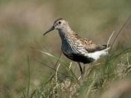 Birdlife Data Zone | Arctic Tundra | Scoop.it