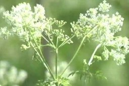 Pasture Weeds: Most Toxic to Horses | Carriage Driving Radio Show | Scoop.it