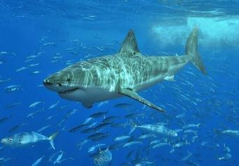 Great white sharks get more protection in California | Summit County ... | shark fishing | Scoop.it