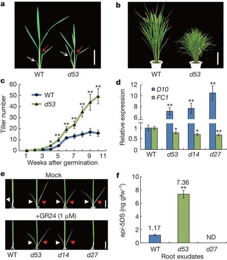 D14-SCFD3-dependent degradation of D53 regulates strigolactone signalling | Plant hormones | Scoop.it