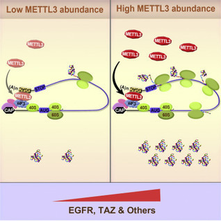 The m6A Methyltransferase METTL3 Promotes Translation in Human Cancer Cells: Molecular Cell | Melanoma BRAF Inhibitors Review | Scoop.it