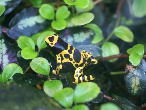 Photos d'amphibiens : Dendrobate jaguar - Rainette jaguar - Grenouille tueuse - Grenouille vénéneuse - Dendrobates leucomelas - Yellow-banded poison dart frog | Fauna Free Pics - Public Domain - Photos gratuites d'animaux | Scoop.it