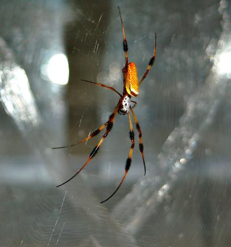 Toiles d'araignée : on en sait plus sur leurs propriétés élastiques | EntomoNews | Scoop.it
