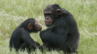 Humans and chimps share cultural roots, study says - Los Angeles Times | AP Human Geography | Scoop.it
