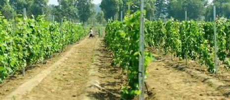 La Chine devient le deuxième vignoble du monde | The Blog's Revue by OlivierSC | Scoop.it