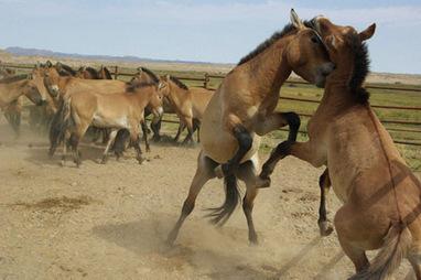 Des chevaux d'une espèce menacée relâchés dans la nature - Quotidien du Peuple | éthologie équine | Scoop.it