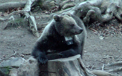 Dans les yeux de l'ourse via une caméra embarquée - Museum d'histoire naturelle de Toulouse   Ressources en ligne pour les collégiens   Scoop.it