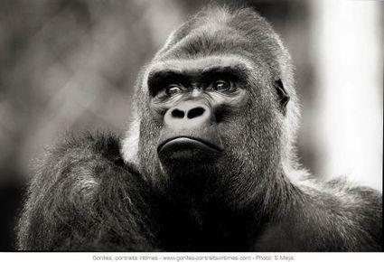 De fascinants portraits de gorilles - Futura Sciences | L'actualité photographique #photographie | Scoop.it
