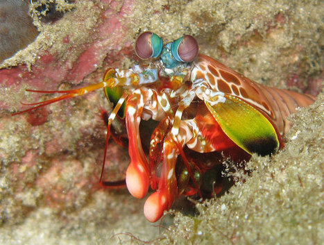 How mantis shrimps deliver armour-shattering punches without breaking their fists – Phenomena | Mantis Shrimp | Scoop.it