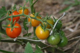 Tomatoes: Q and A | School Gardening Resources | Scoop.it