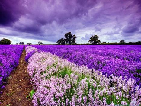 I love this picture . Twitter / EarthPix: Lavender Fields in Provence, ... | French Art de vivre | Scoop.it