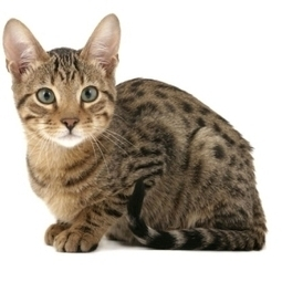 Serengeti Cat | Cat Breeds Information | Scoop.it