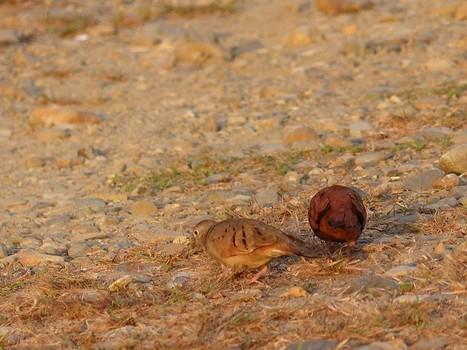 Photo de Columbidé : Colombe rousse - Columbina talpacoti - Ruddy Ground Dove   Fauna Free Pics - Public Domain - Photos gratuites d'animaux   Scoop.it