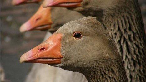 Le Portugal décide d'interdire l'importation de volailles françaises vivantes - France 3 Aquitaine | Elevage | Scoop.it