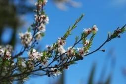 huile tea tree | Guide aromathérapie | Scoop.it