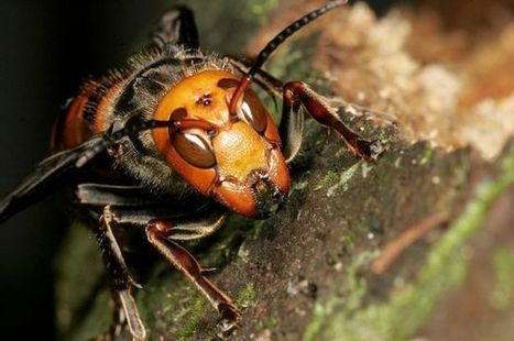 Giant killer #hornets 'heading to Britain' after causing six deaths in #France | Messenger for mother Earth | Scoop.it